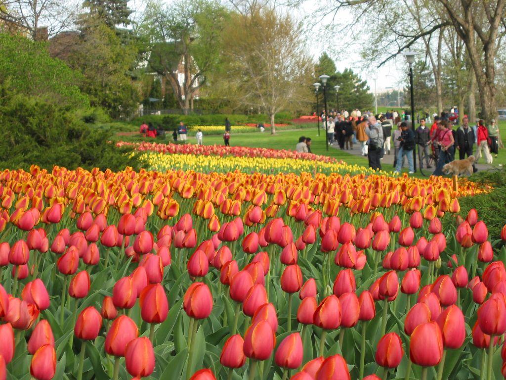 Canadian Tulip Festival – May 12-23, 2016